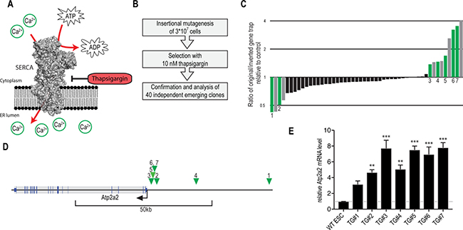 Thapsigargin-resistance screen using insertional mutagenesis validates Atp2a2/SERCA2 overexpression as resistance mechanism.