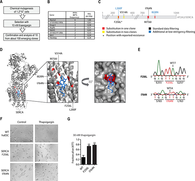 Chemical mutagenesis screen for thapsigargin resistance reveals amino acid substitutions in Atp2a2/SERCA2.