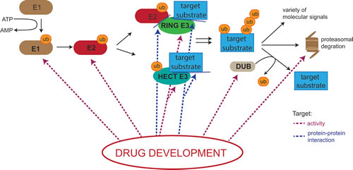Potential drug targets in the Ubiquitin Proteasome System (UPS).