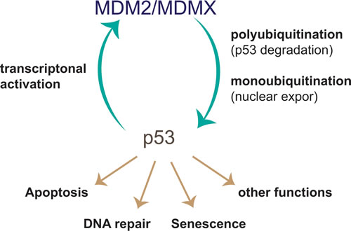 p53-MDM2 negative feedback loop.
