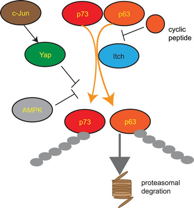 Figure 3:Regulation of the HECT E3 ligase Itch Itch is an important negative regulator of the transcription factors p63 and p73 leading to their polyubiquitination and subsequent proteasomal degradation.