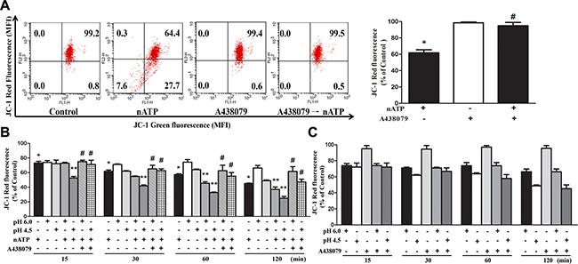 Effects of nATP, aATP and acidification on mitochondrial membrane potential.