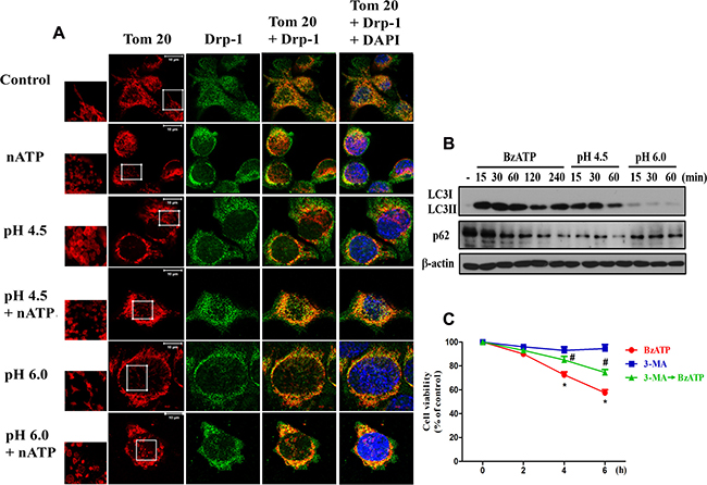 P2X7 activation and extracellular acidification changed mitochondrial dynamics.
