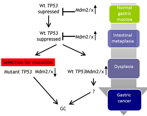 Proposed model for the mechanism of TP53 and MDM2/X gastric cancer.