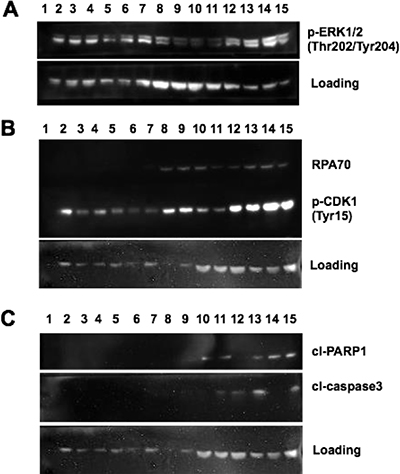 MAPK activation and DNA damage checkpoint induction following MTX + dabrafenib combination treatments.