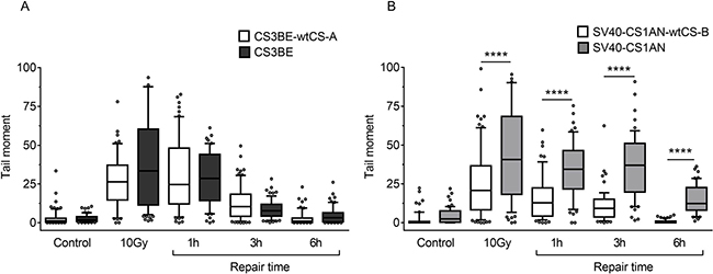 Evaluation of DSB formation and repair in CS-A and CS-B cells after exposure to IR.