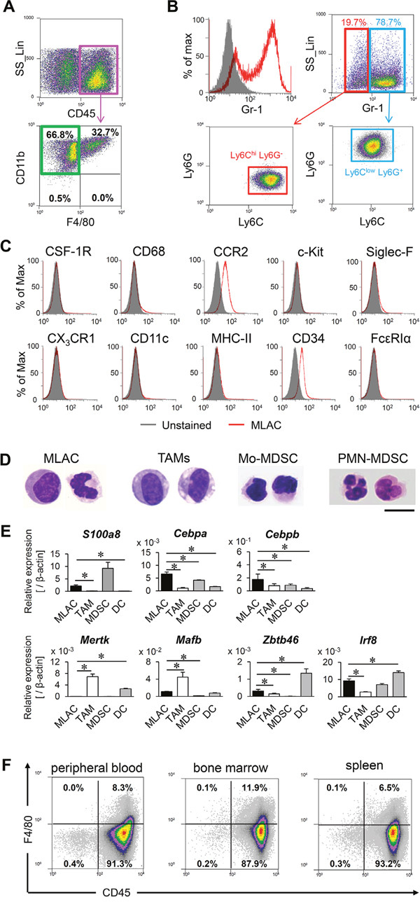 MLACs are novel tumor-infiltrating myeloid cells.