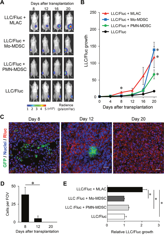 MLACs have distinct tumor-promoting effects from other myeloid-derived cells.