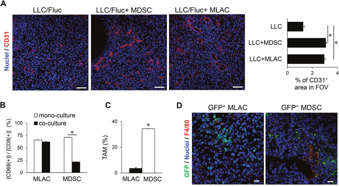 MLACs facilitate angiogenesis in a tumor tissue.