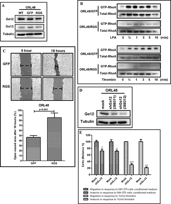 Inhibition of G12 signaling and knockdown of Gα12 in OSCC.