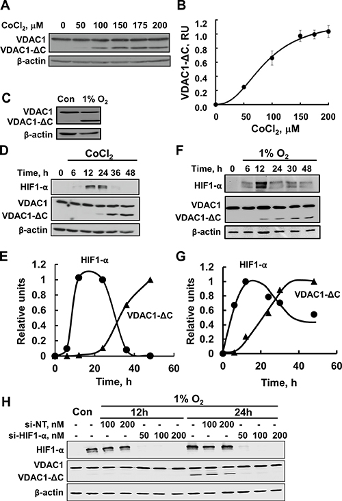 Hypoxia, as induced by CoCl2 or low oxygen, leads to VDAC1 truncation.
