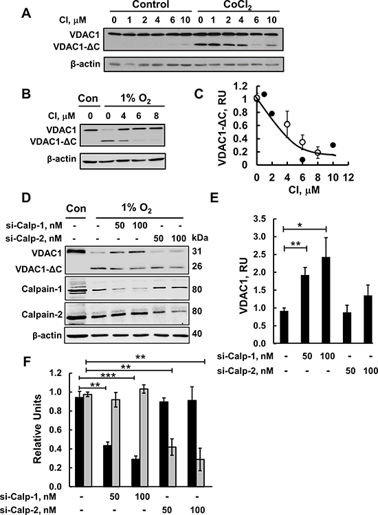 Calpain inhibitor I and siRNA against calpain 1 inhibit VDAC1-ΔC formation.