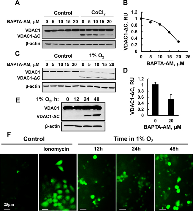 BAPTA-AM inhibits VDAC1-ΔC formation.