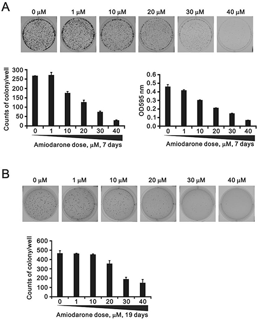 The effects of amiodarone on the cell colony and anchorage-independent growth.