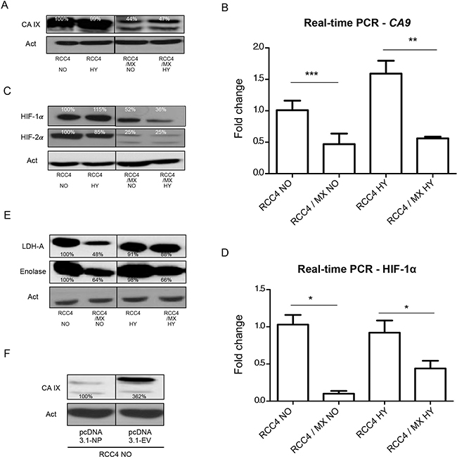 Changes in the expression of HIF-1 targets after infection with LCMV MX or transfection with pcDNA3.1-NP.