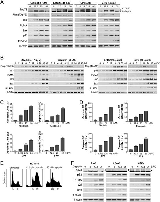 Downregulation of TAp73 in response to extensive DNA damage correlates with induction of apoptosis.