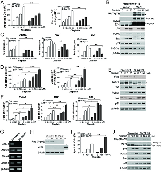 TAp73 suppresses apoptosis and the expression of p53 downstream target genes following extensive DNA damage.