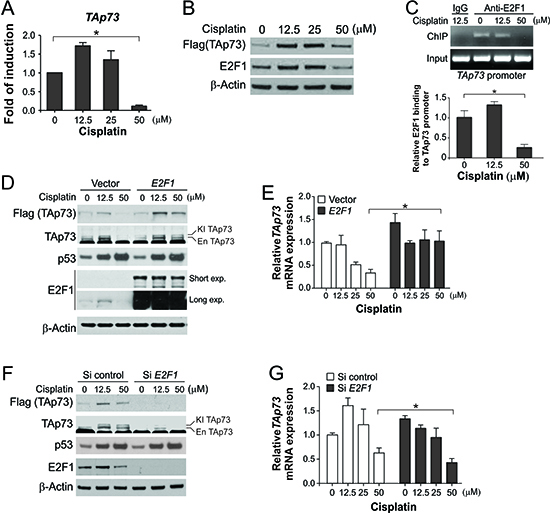 Downregulation of E2F1-mediated TAp73 transcription following extensive DNA damage.