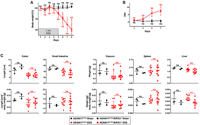 In ADAM17 hypomorphic mice, loss of RIPK3 does not ameliorate loss of body weight, disease activity index, and changes of inner organs caused by acute DSS-induced colitis.