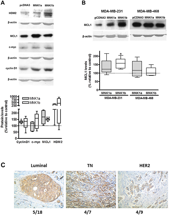 Effect of overexpression of MNK1a and MNK1b on oncoprotein levels.