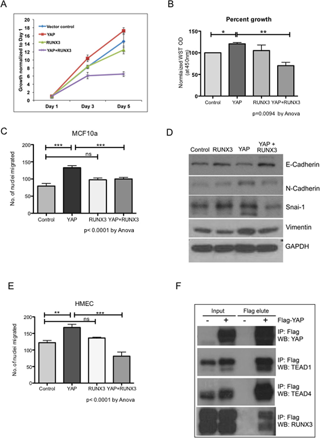 Oncotarget   RUNX1 and RUNX3 protect against YAP-mediated EMT, stem