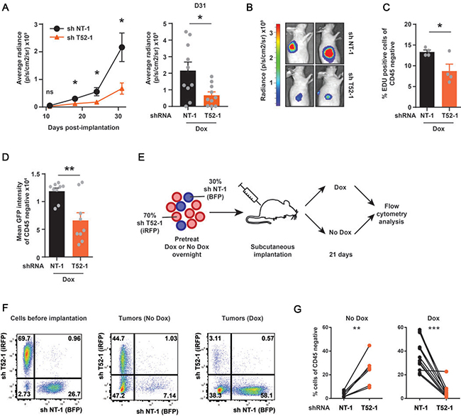 TRIM52 ablation reduces cancer cell proliferation and tumor formation in a U87MG xenograft model in vivo.