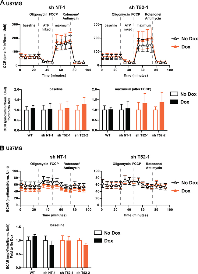 TRIM52 knockdown does not affect Oxygen Consumption Rate (OCR) and Extracellular Acidification Rate (ECAR).
