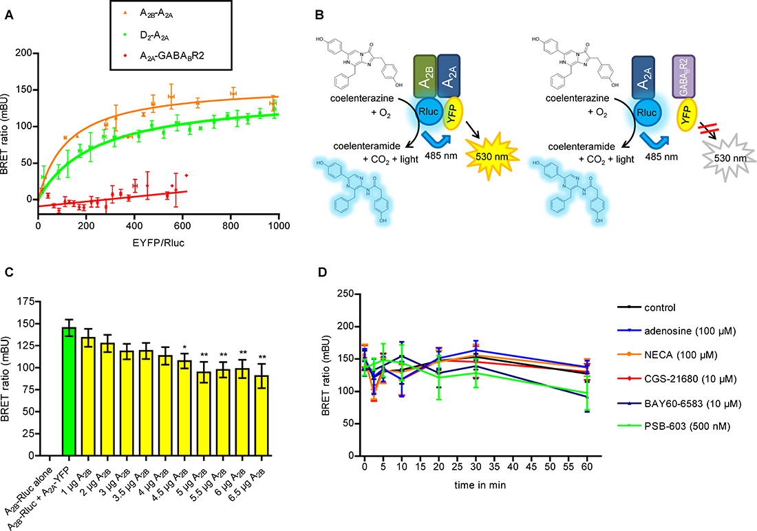 Biophysical assays using A2A and A2BARs fused to BRET donor and acceptor.