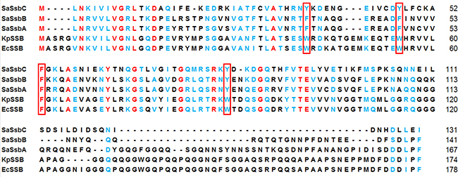 Multiple amino acid sequence alignment of SSB proteins.