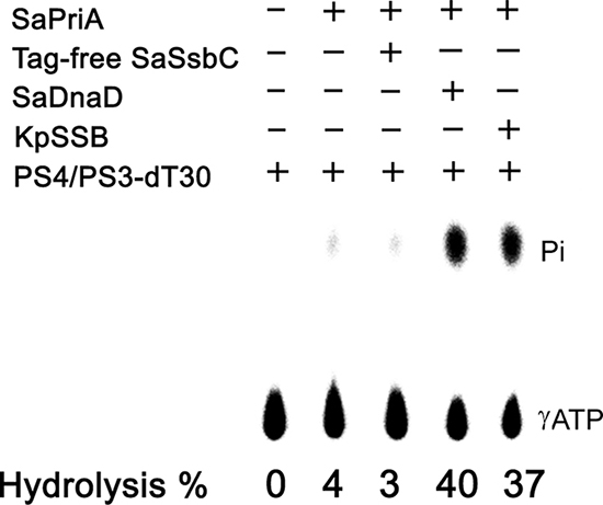 The ATPase activity of SaPriA did not change when acting with SaSsbC.