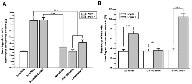Nuclear myosin I and actin are required for contact formation between homologous chromosomes at sites of DSBs in DAB1 and GRIP1 genes.