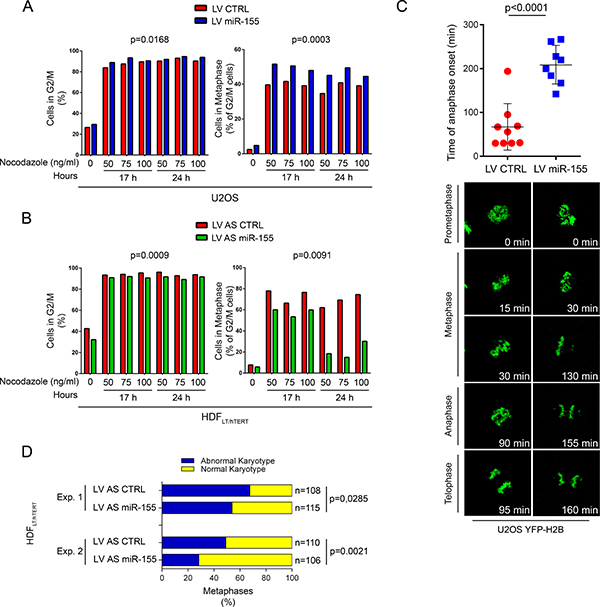 Over-expression of miR-155 blocks cells at G2/M phase and prolongs the duration of metaphase by delaying chromosome congression.