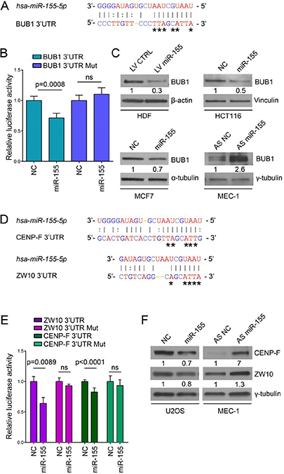 BUB1, CENP-F and ZW10 are targeted by miR-155.