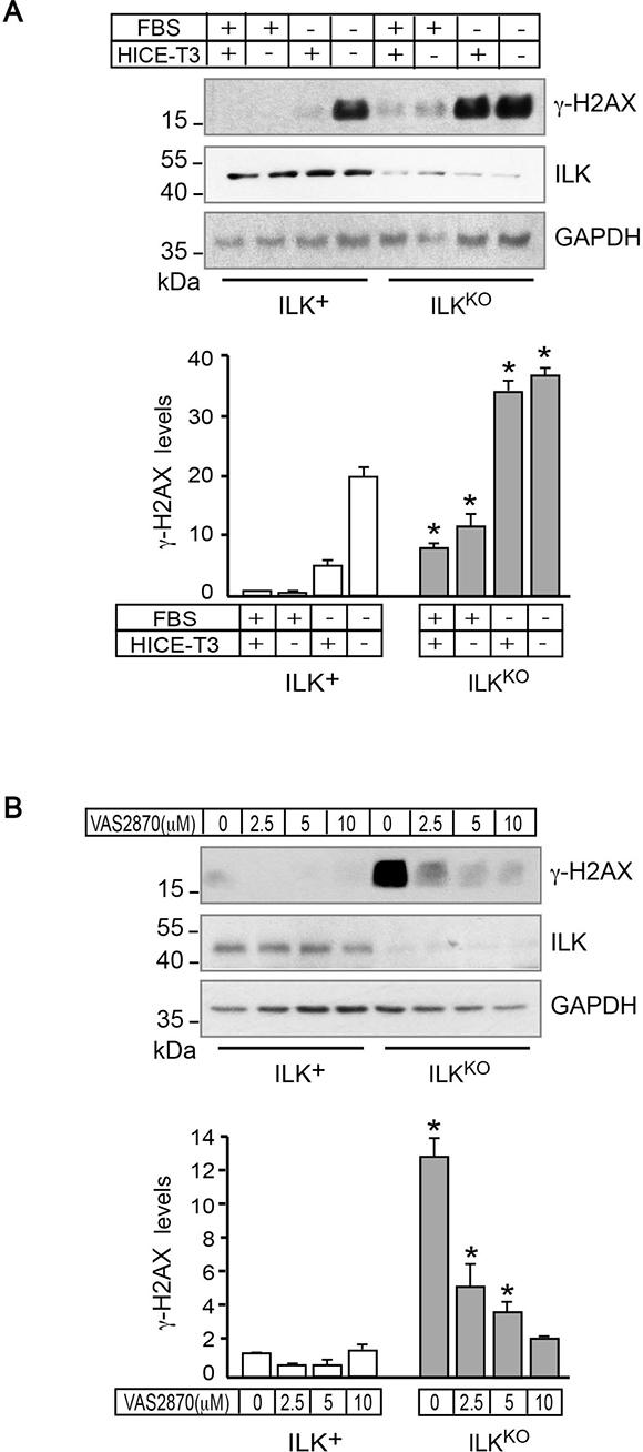 NADPH oxidase-dependent presence of γH2AX in ILKKO keratinocytes.