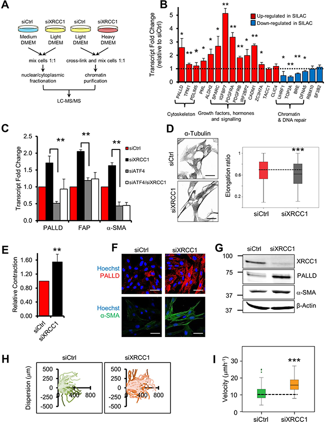 XRCC1 depletion leads to reprogramming of normal fibroblasts into CAF-like cells.