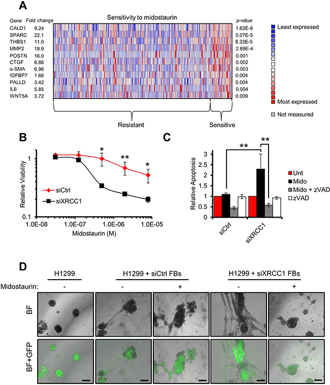 Midostaurin eliminates XRCC1 KD fibroblasts and negatively affects their stimulatory ability towards cancer cells.