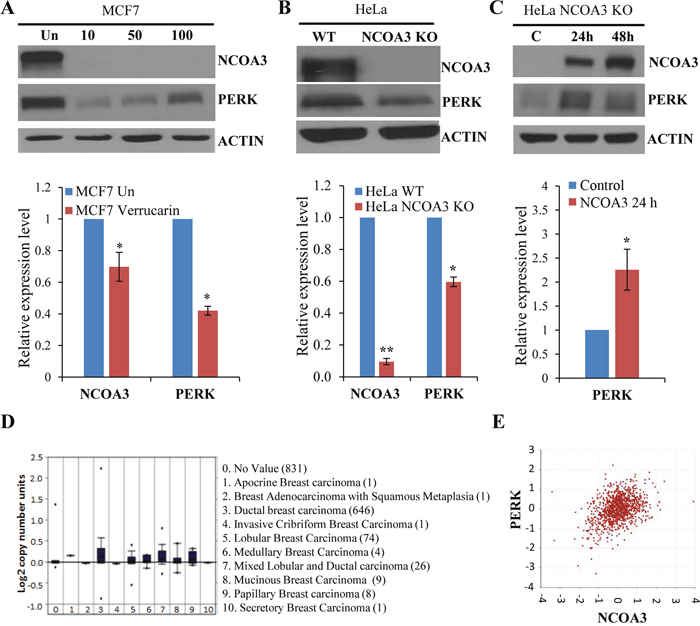 NCOA3 regulates the expression of PERK.