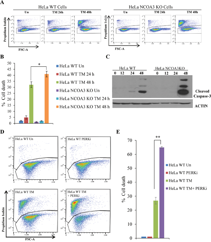 NCOA3-deficient HeLa cells are hypersensitive to ER stress mediated cell death.
