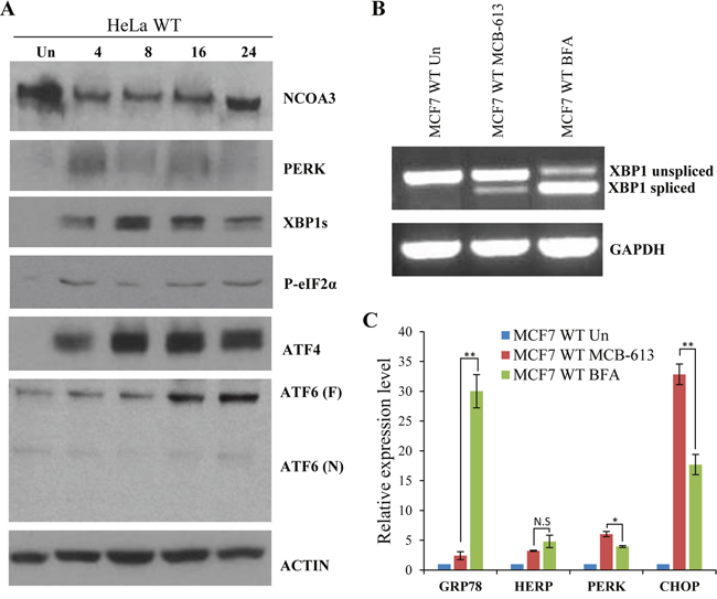 MCB-613 leads to enhanced activation of PERK signalling.