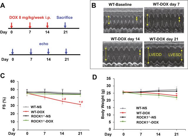 Time course study of doxorubicin cardiotoxicity.
