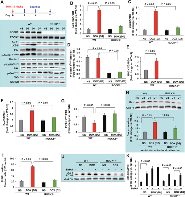 ROCK1 deletion inhibited the early onset of doxorubicin-induced autophagy dysregulation and apoptosis.