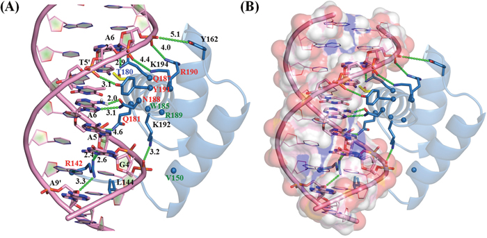 NKX2.5-DNA Interaction map: Residue level interaction between NKX2.5 and DNA (ANF-242).