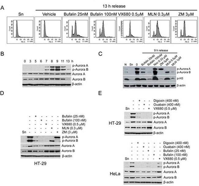Bufalin downregulates Aurora A and B in protein and phosphorylation levels.