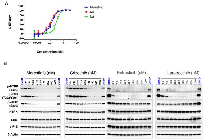 In vitro effect of merestinib treatment on cell-based NTRK1 inhibition.