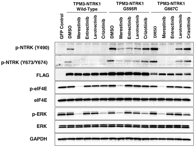 Evaluation of NTRK inhibitors with NIH-3T3 cells transfected with G595R or G667C mutation in TPM3-NTRK1 fusion in vitro.