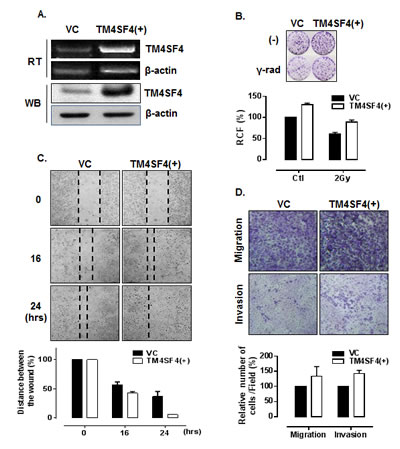 Overexpression of TM4SF4 in A549 cells enhanced cell growth, migration, and invasiveness.