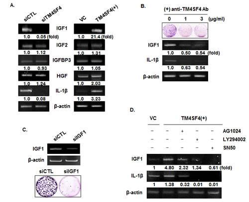 IGF1R activation of TM4SF4-overexpressing A549 cells is induced by enhanced expression of IGF1 via NF-kappaB activation.