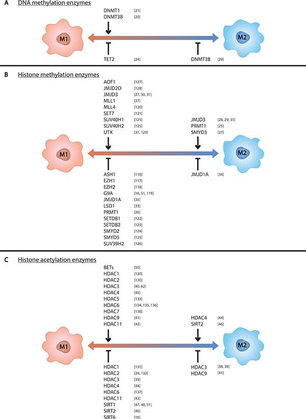 Epigenetic enzymes control macrophage phenotype.
