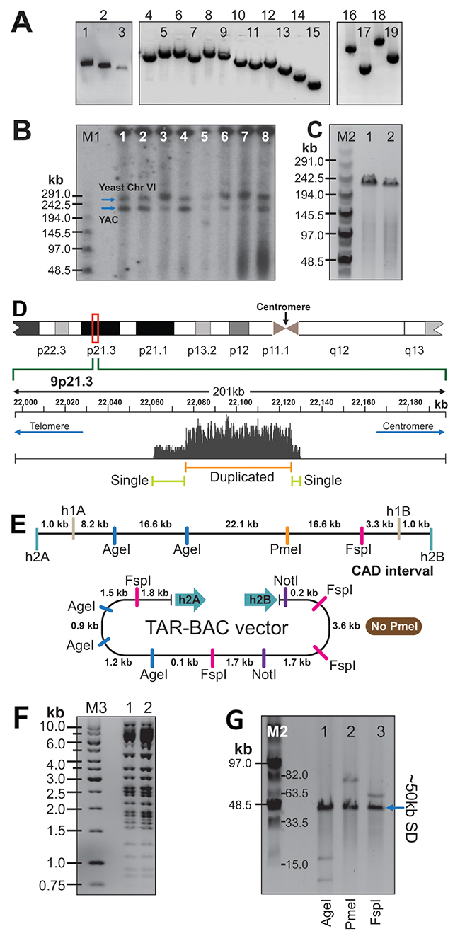 Physical analyses of the CAD-containing TAR/YAC and BAC clones isolated from the C087 patient cell line.