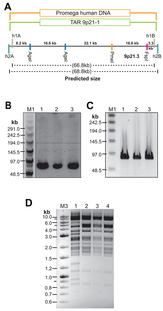 TAR cloning and physical analysis of the CAD-containing TAR/YAC clones isolated from genomic DNA of normal individuals.